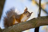 the red squirrel assidenous on tree branch poster