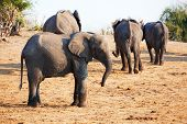 Large herd of African elephants (Loxodonta Africana) in Botswana poster