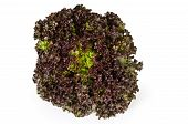 Lollo Rosso lettuce front view on white background. A summer crisp variety of Lactuca sativa. Red loose leaf type salad head with frilly leafs and wavy leaf margin. Macro closeup photo. poster