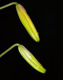 Freen Flower