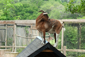 Goat on the Peak of a Roof