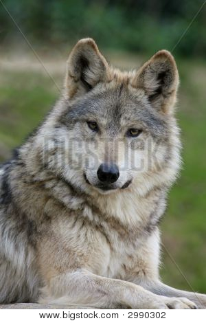 A Capture Of A Wolf