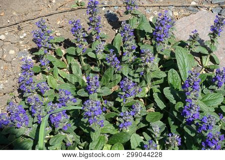 Dense Racemes Of Purple Flowers Of Ajuga Reptans In May