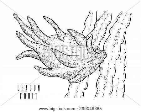 Dragon Fruit.pitaya.pitahaya Exotic Cactus Fruit Isolated On White Background.energy Food, Refreshin