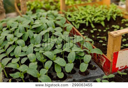 Cucumber Seedlings On A Black Soil