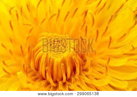 Extreme closeup view of the common dandelion flower