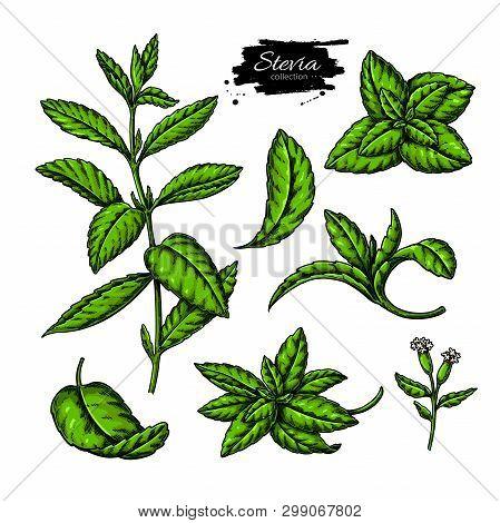 Stevia  Vector Drawing. Herbal Sketch Of Sweetener Sugar Substitute