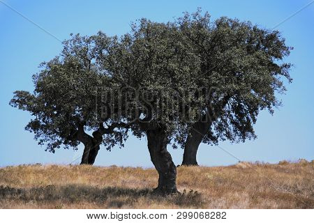 Três árvores Isoladas Numa Vasta Planície Assolada Pelo Intenso Calor, Portugal