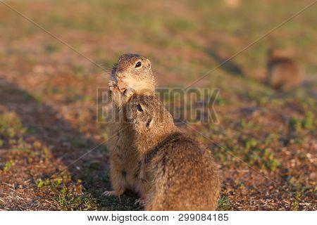 Two European Ground Squirrels Standing In The Field. Spermophilus Citellus Wildlife Scene From Natur