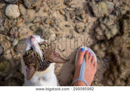 Cat Looking Into Camera With Woman's Foot. Stray Cat Rubs On Legs Top View Photo. Cute White Brown K