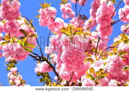 Daisy Flower, Flowering Daisy Flowers In Meadow. Cherry Blossom. Sacura Cherry-tree. Vancouver Cherr