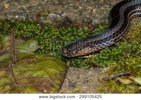 Macro image of a very venomous Banded Malaysian Coral Snake poster