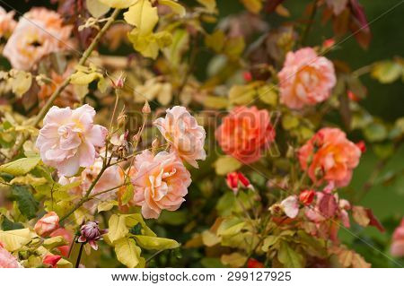Beautiful blooming roses in famous Claude Monet garden in Giverny, Normandy, France poster