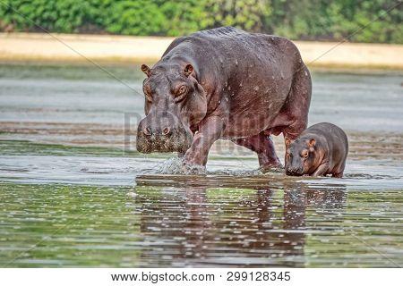 Portrait Of A Hippopotamus With Her Cub Floating In The Water. Hippopotamus (hippopotamus Amphibius)