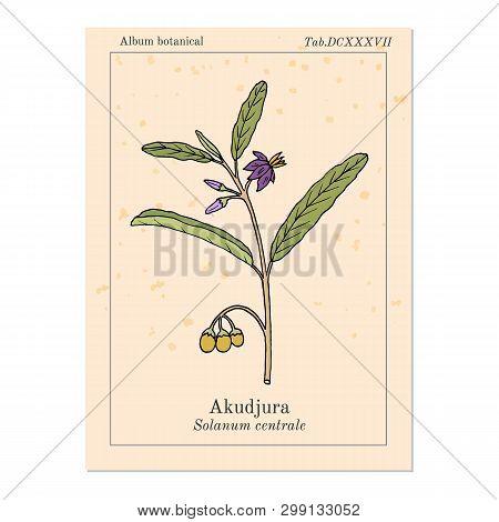 Australian Desert Raisin Solanum Centrale , Or Akudjura, Kutjera, Bush Tomato, Spice Plant. Hand Dra