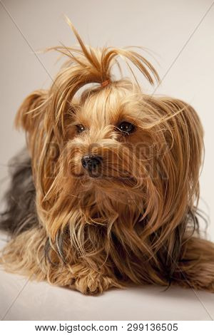 Funny portrait of cute little yorkie dog poster