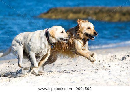 poster of Golden retriever and lagrador running on the beach