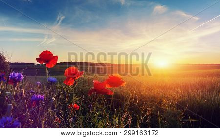 Wonderful Landscape During Sunrise. Blooming Red Poppies On Field Against The Sun, Blue Sky. Wild Fl