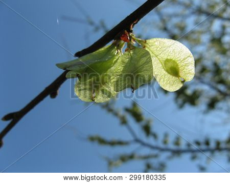 Elm Tree Seeds On A Tree Branch In The Spring With A Blue Sky Background In A Sunny Day, Flowers Of