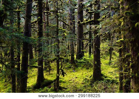 Sunlight  Streams Through The Trees Deep In An Alaskan Rain Forest Where The The Ground Is Covered W