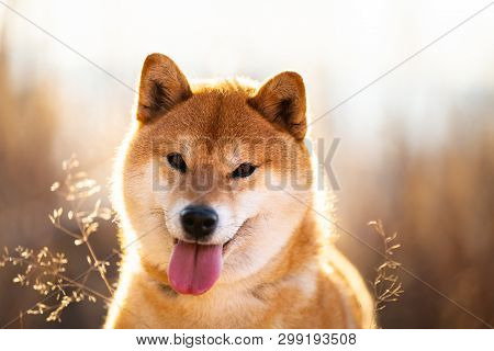 Close-up Portrait Of A Cute Red Dog Breed Shiba Inu With Tonque Hanging Out Sitting In The Field At