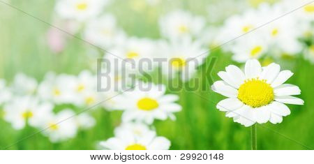 Daisy flowers (selective DOF); spring series B