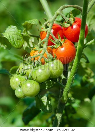 Cherry Tomatoes Growth