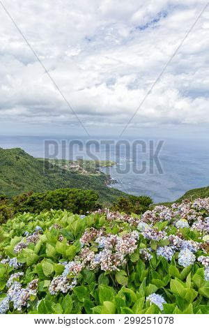 Hyndrangeas In The Mountains Above Ponta Delgada On The Island Of Flores In The Azores.