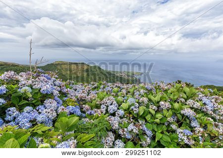 Summer Hydrangeas Bloom In The Mountains Above Ponta Delgada On The Island Of Flores In The Azores.