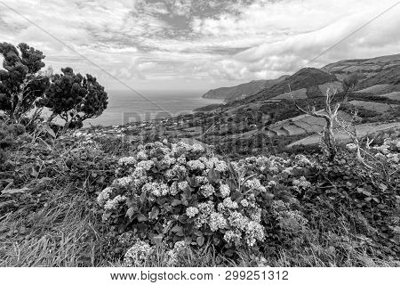 Black And White View Of Hydrangeas Above Ponta Delgada On The Island Of Flores In The Azores.