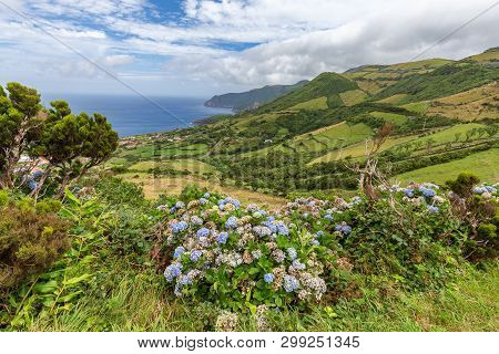 Hydrangeas Blooming Among The Hills Near Ponta Delgada On The Island Of Flores In The Azores.