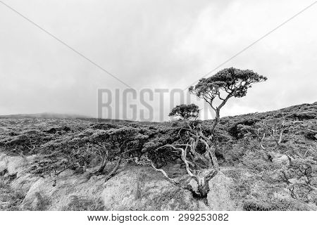 Black And White View Of Shrubland On Flores Island In The Azores.