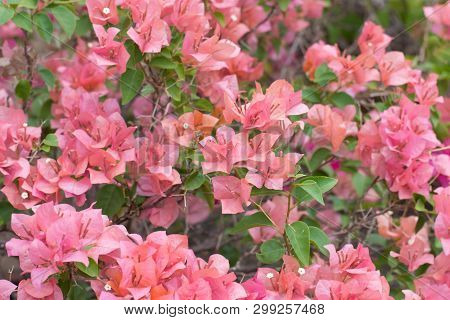 Blooming Bougainvillea Flowers (a Genus Of Thorny Ornamental Vines, Bushes, And Trees