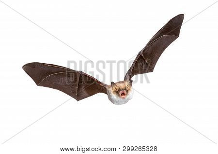 Flying Natterer's bat (Myotis nattereri) action shot of hunting animal isolated on white background. This species is medium sized, nocturnal and insectivorous found in Europe and Asia. poster