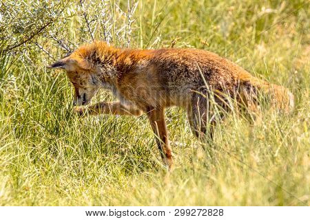 Red Fox (vulpes Vulpes) In Natural Vegetation. This Beautiful Wild Animal Of The Wilderness. Hunting