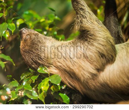 Sloth Slow-moving Tropical American Mammal That Hangs Upside Down From Branches Of Trees Using Its L