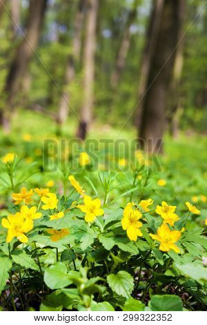 Anemone Ranunculoides (yellow Anemone, Yellow Wood Anemone Or Buttercup Anemone) Growing In Spring F