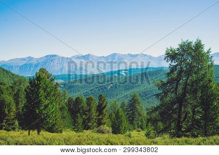 Conifer Forest Against Hills With Forest Cover Under Giant Mountains And Glaciers. Snowy Ridge Under