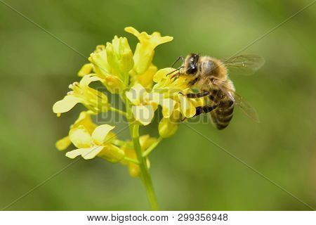 Spring; Bee In Work, Pollinating A Yellow Flower