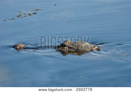 Swimming Alligator Close-Up