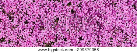 Thousands Of Small Pink Flowers. Phlox Subulata: Creeping Phlox, Moss Phlox, Moss Pink, Or Mountain