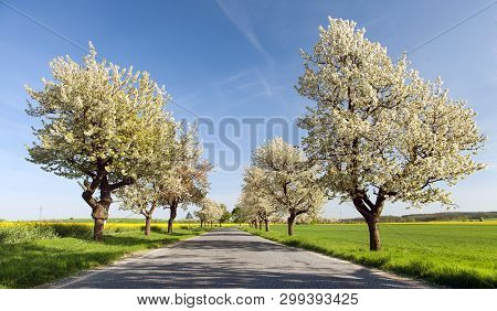 Cherry Trees Alley Of Beautiful Flowering Tree And Road