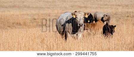 Panorama Of Mixed Breed Beef Cows And Calves In Tall, Dormant Grass Pasture With Negative Space To T