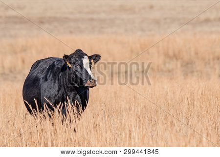 Black Cow With White Stripe Standing Alone In Tall, Brown Dormant Grass With Negative Space For Copy