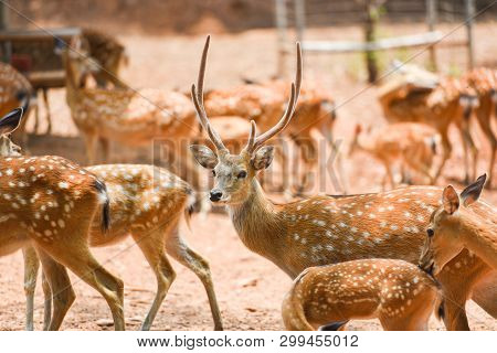 Spotted Deer Wild Animal In The National Park / Other Names Chital , Cheetal , Axis Deer
