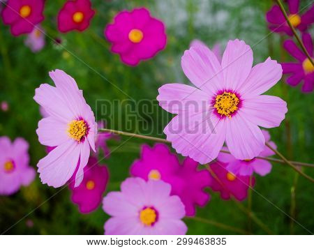 Close Up Beautiful Cosmos Flowers In Blooming