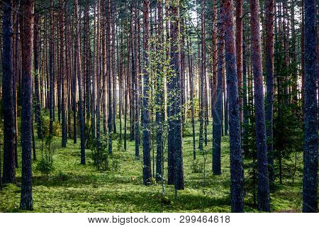 Forest At Dawn. Morning In The Forest. The Sun Through The Trees. Picture Forest Morning
