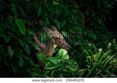 Eld's Deer, Thamin, Brow-antlered Deer ,(panolia Eldii)