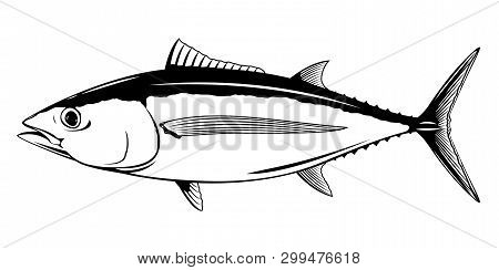 Albacore Tuna Fish In Side View, Realistic Sea Fish Illustration On White Background, Commercial And