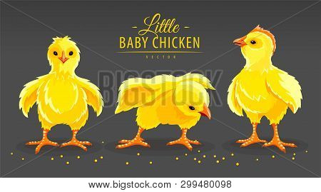 Hen Chicken And Rooster. Newborn Little Domestic Poultry Birds With Yellow Fluff And Feathers Peckin